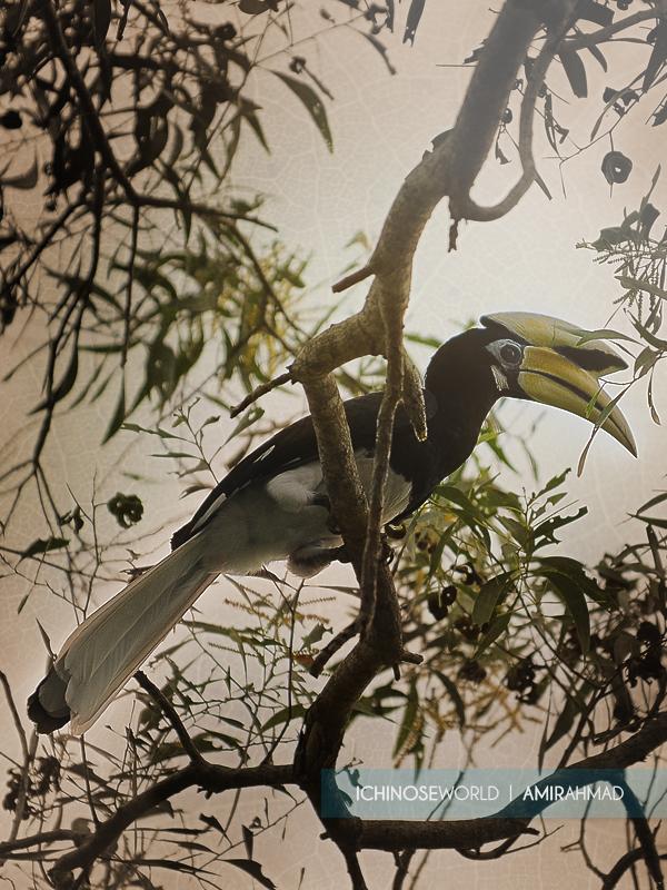 hornbill hunting