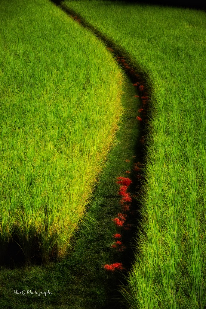 a Footpath Between Rice Fields