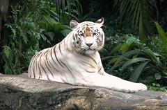 Bengal White Tiger (Panthera tigris tigris) (Victor and Patricia Ocampo) Tags: singaporezoo pantheratigristigris bengalwhitetiger pantheratigrisbengalensis victorrocampo