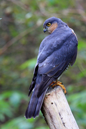 Sparrowhawk at Threave