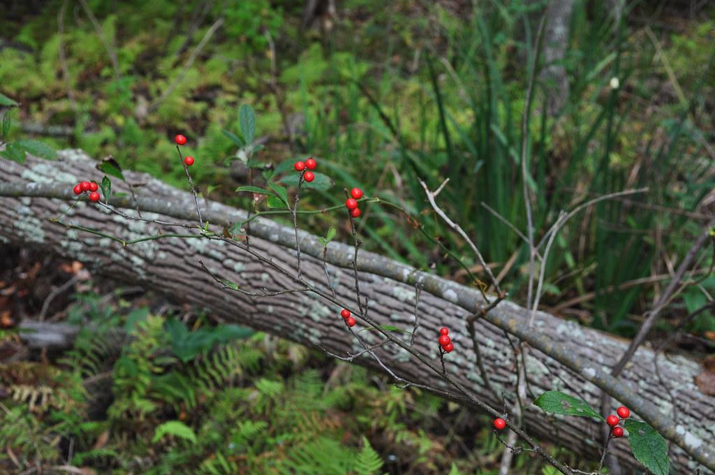 Winterberry 1