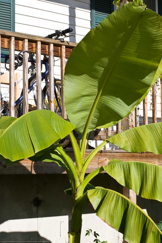 Edible Forest Gardens: non-bearing banana