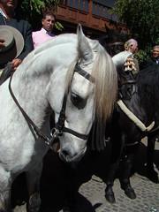 Romeros a caballo y carretas Rocio Chico Gran Canaria 47 (Rafael Gomez - http://micamara.es) Tags: horse caballo y folklore gran chico carts canaria rocio romeros carretas