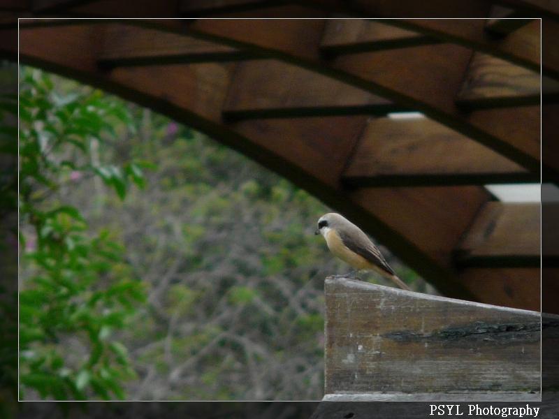 Brown Shrike (Lanius cristatus lucionensis) - 灰頭紅尾伯勞
