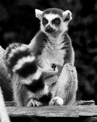Who Me? (JKmedia) Tags: bw orange cutout eyes cornwall hand tail lemur gesture captive madagascar stripy whome newquayzoo youtalkintome madagascan canoneos40d quimoi thechallengegame challengegamewinner jkmedia n15c orangecontactlenses