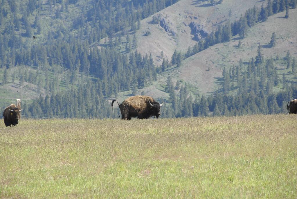 Buffaloed.