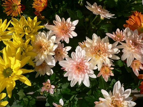 Flowers of Chrysanthemum