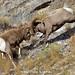 Fighting Bighorn Rams