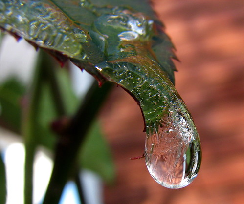 Frozen Drop On Rose Bush