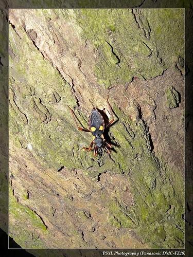Acanthaspis immodesta - 紅足荊獵蝽