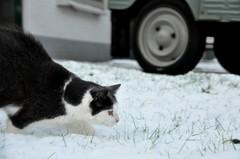 Snowpatrol II (CitroenAZU) Tags: winter snow cat kat chat hiver sneeuw citroen 2cv neige poes azu