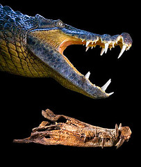 091119-04-sabertoothed-boar-croc