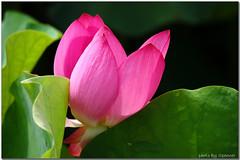 Lotus (Spencer Hsieh & Voicechien) Tags: lotus    nantou  nelumbonucifera friendlyflickr nnucifera tasotun