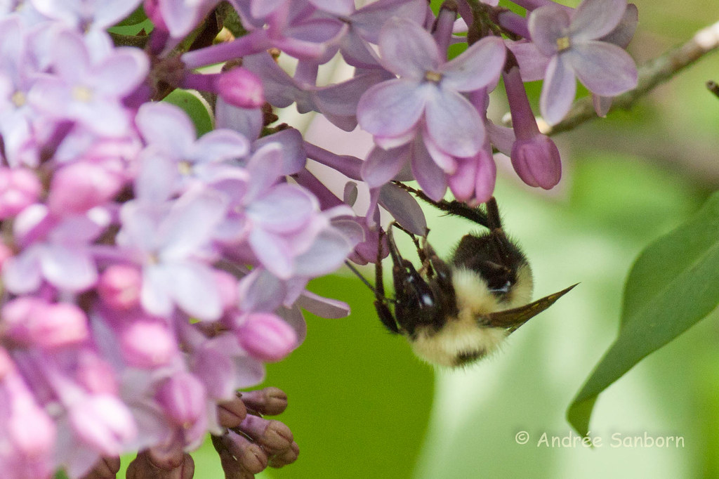 Bumblebee on Lilacs-1.jpg