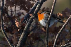 European Robin (keynowski) Tags: europeanrobin kızılgerdan erithacusrubecula nature ngc animalplanet animal bird canon70d canonef400mmf56lusm narbülbülü