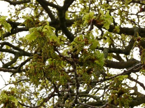oak-flowering-2