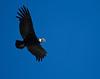 Cóndor (ik_kil) Tags: chile birds andeancondor cóndor cajóndelmaipo vulturgryphus bañosmorales cordilleradelosandes regiónmetropolitana avesdechile