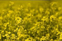 _DSC0415 (micheemich.) Tags: yellow deer mustard beiseker conola