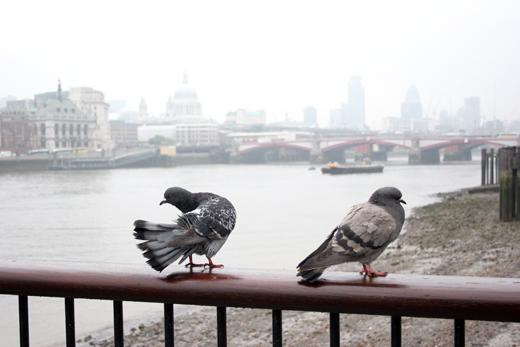 17_avril_2009_pigeons_0252