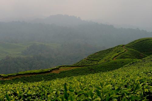 Nirmala-TeaPlant-1