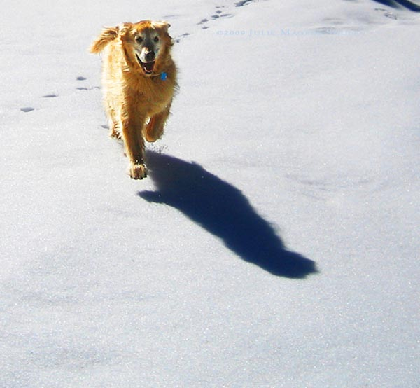 golden retriever flies across snow