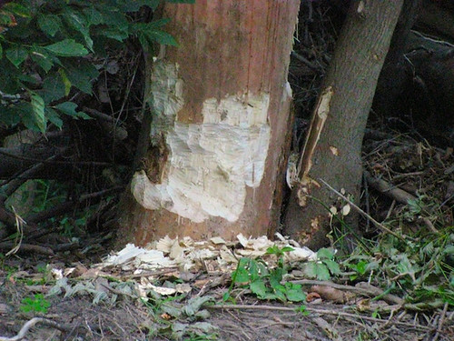 A tree gnawed on by a beaver