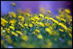 Enchantment.... (Levels Nature) Tags: uk flowers england colour nature yellow dof bokeh somerset dandelions westonzoyland saariysqualitypictures mygearandme