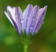 Mauve flower. (chriseagle) Tags: flower rain garden mauve caonon 450d flickrphotoaward