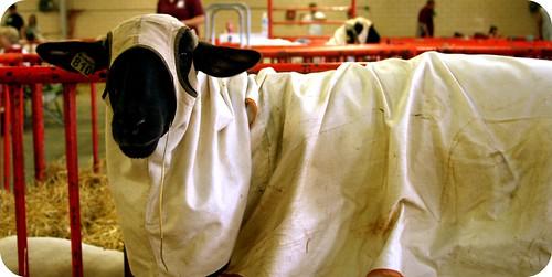 hooded sheep