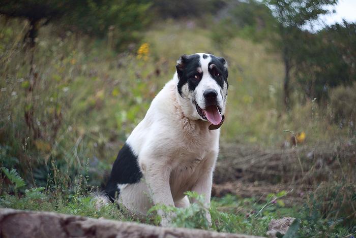 Gelios Dog