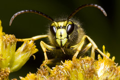 (Emery O) Tags: macro wisconsin canon bees insects bugs bee 180mm paperwasp vespidae vespinae thebeesknees dolichovespula 580exii macrolife
