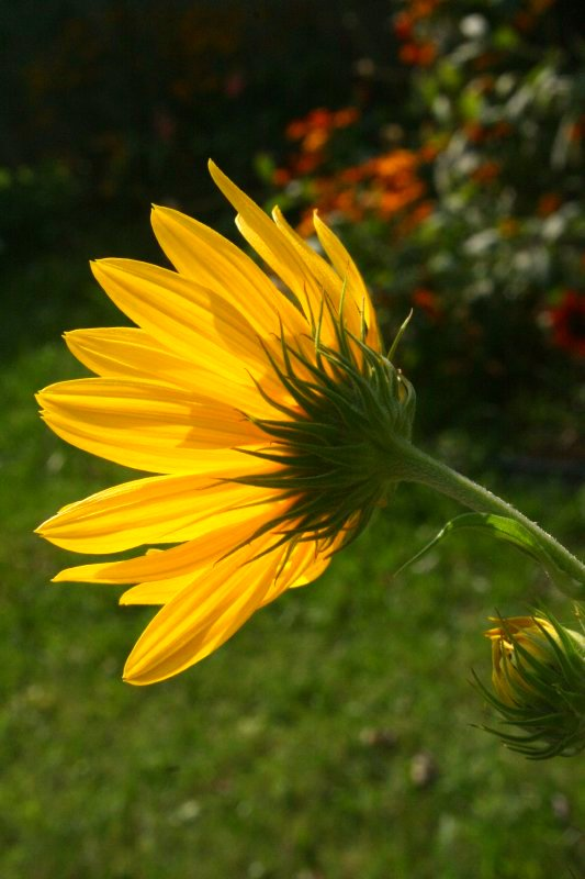 Perennial sunflower, Aug. 2009