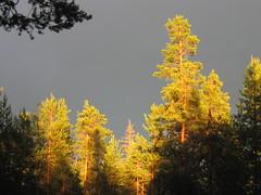 Parc d'Oulanka Finlande (valig64) Tags: trees light grey lumire arbre fort finlande atmosphre oulanka