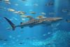Whale Shark, Okinawa (Greg Miles) Tags: japan okinawa whaleshark rhincodontypus churaumiaquarium
