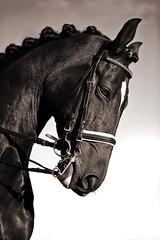 Horse (www.luceartfoto.dk) Tags: horse white black denmark head potrait sephia aalborg canoneos5d ef2470f28l