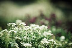 Remembering the wonderful talent & person of Patrick Swayze... (Olivia Joy StClaire) Tags: morning flower macro nature garden dof bokeh joy 60mm inniswood alyssum lightroom remembering patrickswayze ojoyous1 awonderfultalent