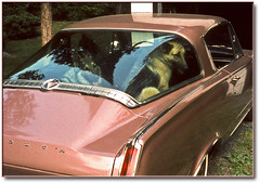 "Our '65 ""Cuda (Romair) Tags: dogs car classiccar barracuda germanshepherds plymouthbarracuda rogerjohnson ourdailytopic"