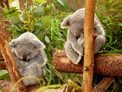 Koalies (Nancy.) Tags: sleeping cute zoo sandiego sd koalas koalabears