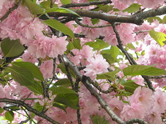 Cherry Blossoms - close up by Sandra Lee Schubert, on Flickr