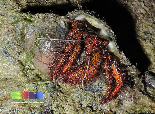 Spotted hermit crab (Dardanus megistos)