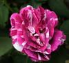 Karin's Rose (carina 10) Tags: pink flower rose roos karin bloem ferdinandpichard homersiliad rosesforeveryone