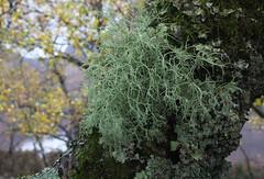 Lichen on a birch tree at the south-east shore of  Loch Maree (Shandchem) Tags: tree green scotland lichen birch loch maree westerross usnea subfloridana