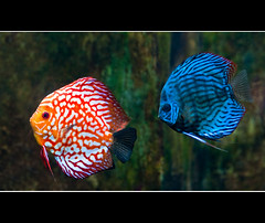 one fish two fish red fish blue fish (JLMphoto) Tags: blue red fish color nature swim aquarium pair georgiaaquarium algae discus naturesfinest onefishtwofishredfishbluefish abigfave nikond300 jlmphoto