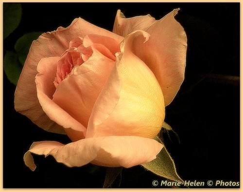 Questa rosa è per te
