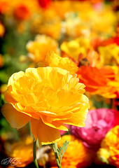 Sunny Yellows  The Flower Fields, Carlsbad (Marcie Gonzalez) Tags: california county ca pink flowers orange plants sun sunlight plant flower color green colors beautiful field yellow canon botanical photography daylight petals bed san colorful bright blossom many blossoms group diego sunny ranunculus row petal southern rows covered blanket greens bloom fields forever blossoming oranges gonzalez blooms yellows carlsbad brightness marcie attraction pinks botanicals blooming covering hundreds theflowerfields theflowerfieldscarlsbad marciegonzalez marciegonzalezphotography