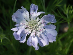pincushion flower (Gloria1207) Tags: summer flower purple mygarden blurredbackground pincushjon gmm1207 gloria1207