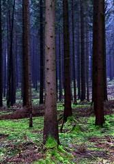 Silence (:Linda:) Tags: autumn tree forest germany deutschland thringen moss woods village herbst thuringia spruce baum autumnal moos conifer nadelbaum herbstlich konifere brden
