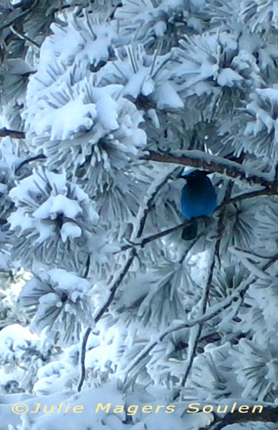 blue Stellers Jay Snow Christmas Card