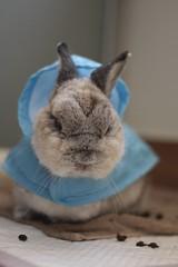 Polo in raincoat (RosyBunny) Tags: cute rabbit bunny dwarf adorable raincoat polo