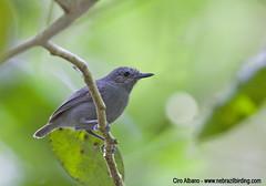 Alagoas Antwren_Myrmotherula snowi (Ciro Albano - NE Brazil Birding) Tags: criticallyendangered fbwnewbird fbwadded alagoasantwren myrmotherulasnowi